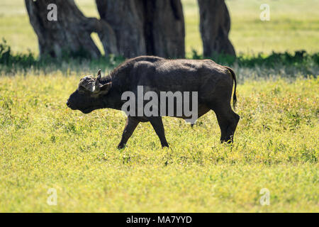 The African buffalo or Cape buffalo is a large African bovine. It is not closely related to the slightly larger wild water buffalo of Asia - Stock Photo