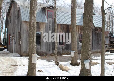 Maple syrup farm - Stock Photo