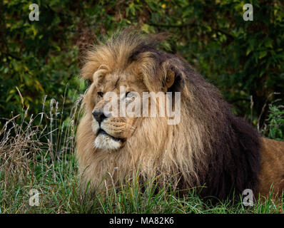 Male Lion resting (Panthera leo) - Stock Photo