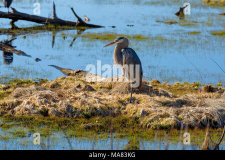 great blue heron in the button marsh area of st. andrews state park, panama city, florida - Stock Photo