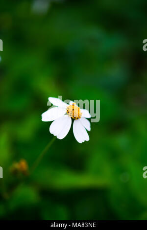 A little flowers, white petals and yellow stamens on blurred green grass background, selective focus. - Stock Photo