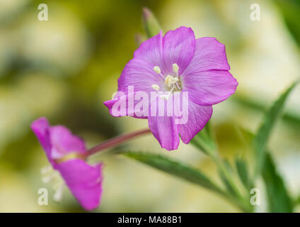 A macro shot of a great willowherb bloom. - Stock Photo
