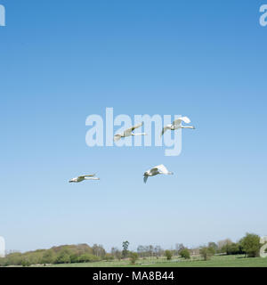 Two Pairs of Mute Swans Formation Flying - Stock Photo