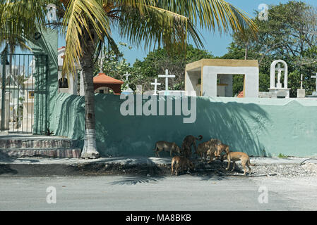 Street dogs in front of a cemetery wall in Progreso, Mexico - Stock Photo