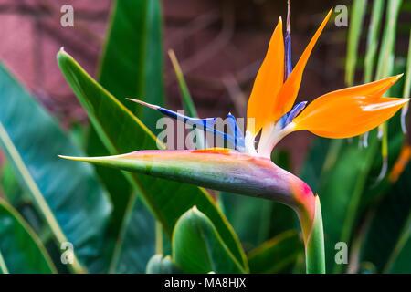 Bird of Paradise flower (Strelitzia reginae) in Botanical garden in Puerto De La Cruz, Tenerife - Stock Photo