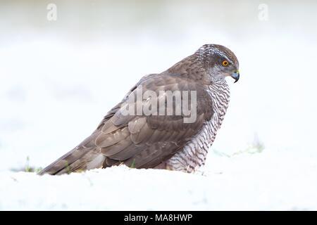 Goshawk (Accipiter gentilis) closeup in snowfall backdrop.  Primer plano de Azor (Accipiter gentilis) con fondo nevado. - Stock Photo