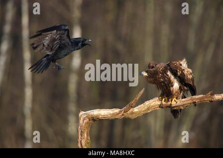 Large Raven pestering a perched White-tailed Sea Eagle - Stock Photo