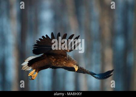 White-tailed Eagle in flight. Bialowieza Forest, Poland - Stock Photo