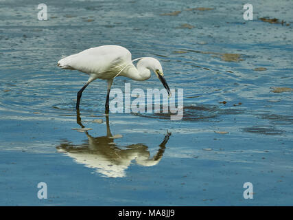 A Little Egret (Egretta Garzetta) with a small fish in its beak just after being caught from the water, England, UK - Stock Photo