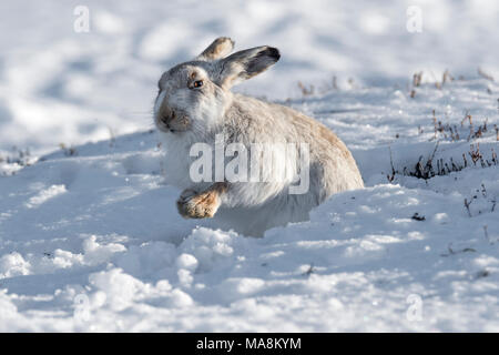 Mountain hare (lepus timidus) in its form on snow covered hillside in the Scottish Highlands, March 2018 - Stock Photo