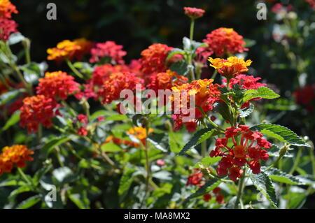 Close-up of a Bicolor Lantana Camara Bush, Nature, Sicily - Stock Photo