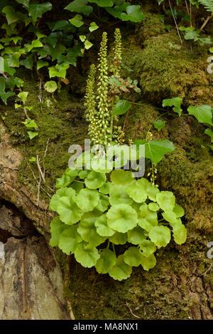 Navelwort, Umbilicus rupestris - Stock Photo