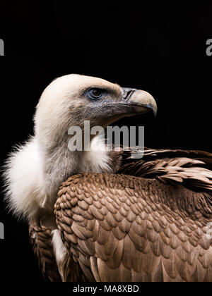 The Himalayan vulture or Himalayan griffon vulture (Gyps himalayensis) is an Old World vulture in the family Accipitridae - Stock Photo