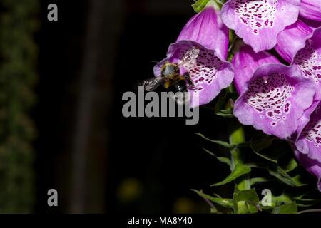 A bumble bee flies towards a Foxglove flower in an English country garden - Stock Photo