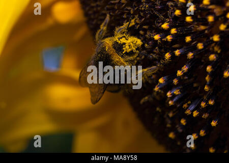 Bee with caked on pollen on its head traverses head of Sunflower