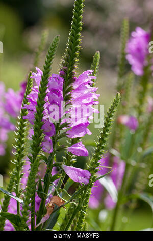 'Bouquet Rose' Obedient plant, Drakmynta (Physostegia virginiana) - Stock Photo
