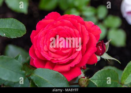 Fragrant Hybrid Tea Rose Bush In Flower In The Summer