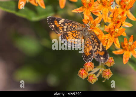 Phaon Crescent butterfly on orange flowers - Stock Photo