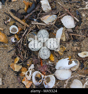Little Ringed Plover Eggs on a Beach - Stock Photo
