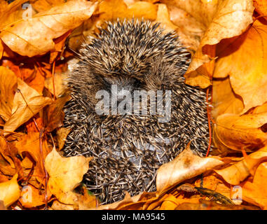 Hedgehog, native, wild, European hedgehog in Autumn, Fall, with colourful golden leaves.  Erinaceus europaeus.  Landscape - Stock Photo