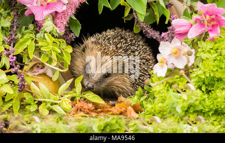 Hedgehog, wild, native European hedgehog in summer flowers and herbs.  Erinaceus europaeus - Stock Photo