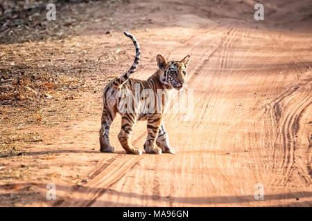 Cute little wild Bengal Tiger Cub, Panthera tigris tigris, standing in a dirt road, Bandhavgarh Tiger Reserve, Madhya Pradesh, India - Stock Photo