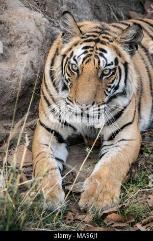 Close-up portrait of a two year old male Bengal Tiger, Panthera tigris tigris, Bandhavgarh Tiger Reserve, Madhya Pradesh, India - Stock Photo