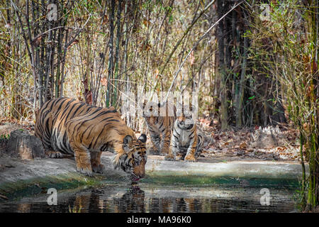 Two cute little two month old Bengal Tiger Cubs, Panthera tigris tigris, watching adult male father drinking, Bandhavgarh Tiger Reserve, India - Stock Photo