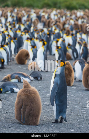 King Penguins colony Gold Harbour - Stock Photo