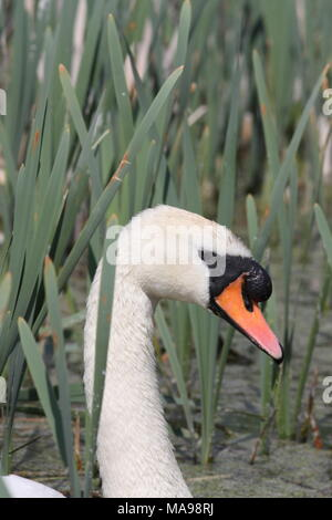 Mute Swan Head study of a male Cob bird, showing the enlarged black knob at the top of the beak, latin name Cygnus olor. - Stock Photo