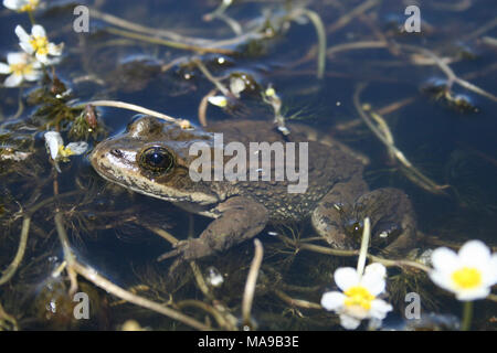Columbia Spotted Frog in Water. Columbia spotted frogs (Rana Luteiventris) are found from Alaska and most of British Columbia to Washington east of the Cascades, Idaho, and portions of Wyoming, Nevada, and Utah.  The Great Basin population range includes eastern Oregon, southwestern Idaho, and the northern drainages of Nevada. In Idaho, it occurs in the mid-elevations of the Owyhee uplands and in southern Twin Falls county. Spotted frogs live in spring seeps, meadows, marshes, ponds and streams, and other areas where there is abundant vegetation. They often migrate along riparian corridors bet - Stock Photo