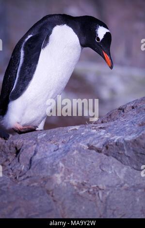 Gentoo penguin (Pygoscelis papua) at Brown Bluff on the Antarctic Peninsula, Antarctica - Stock Photo