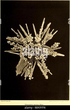 . Echinoidea of the Swedish South Polar Expedition . - Stock Photo