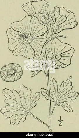 . An illustrated flora of the northern United States, Canada and the British possessions : from Newfoundland to the parallel of the southern boundary of Virginia and from the Atlantic Ocean westward to the 102nd meridian . 5. Malva Alcea L. European or 'ervain ^Mallow. Fig. 2852. Malva Alcea L. Sp. PI. 6S9. 1753. Similar to the preceding species, but the stem-leaves are only once 5-7-parted or cleft, the lobes dentate or incised; pubescence shorter and denser, stellate; flowers pink, pur- plish or white; petals obcordate; carpels glabrous, very finely rugose-reticulated. In waste places, occa - Stock Photo