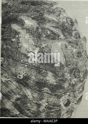 . The ecology of the benthic and endolithic communities of a rocky reef in the kelp beds off Del Monte Beach, Monterey, California. . FIGURE 13. Abalone Shell Showing the Erosion of the Surface 52 - Stock Photo