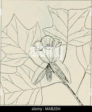 . The drug plants of Illinois . LIRIODENDRON TULIPIFERA L. Tulip tree. Magnoliaceae.—A straight, narrow-crowned tree of great height; bark of the trunk thin and scaly or, later, 2 inches thick and deeply furrowed; leaves dark green, shiny, 5 to 6 inches long and as wide, with 2 large, pointed lobes on each side and a deep, wide notch at the end, alternate, petioled; flowers greenish-white, inwardly orange-marked, large, showy, re- sembling a tulip blossom; fruit conelike and scaly, 2]/^ to 3 inches long. Bark, taken from root, trunk, and branches, collected. An infrequent to com- mon tree sout - Stock Photo