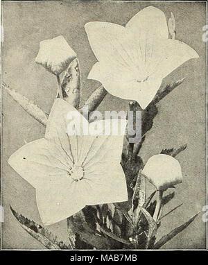 ". Dreer's wholesale price list : flower seeds for florists plants for florists bulbs for florists vegetable seeds fertilizers, fungicides, insecticides, implements, etc . Platycodon Grandifloram Platycodon (Japanese Bell Flower) Perdoz. Orandiflora. Blue. Two-year-old roots. .. $150 "" White. Two-year-old roots. ISO Plumbago (Lead Wort) Larpentse. Strong plants, 3-inch pots.... 150 Polemonium (Jacob's Ladder) Reptaiis. 3-inch pots 1 75 Richardsoiii. 3-inch pots 1 75 "" Alba. 3-inch pots 175 Potentilla (Cinquefoil) Panorama. Double orange with reddish- purple stripes 2 50 Variabilis Ple - Stock Photo"