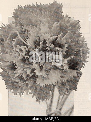 . Dreer's wholesale price list for florists : flower seeds plants and bulbs vegetable and lawn grass seeds sundries . Carnation Chabaud's Enfant de Xice Canary Bird Vine Tr. nkt. Oz. Tropa^oluni Canariense. A fine climber growing 30 feet high with clouds of bright canary-yellow blossoms, up until frost. Sprays of cut flowers will last a week. Yi lb., $1.00 $0 10 $0 30 New Annual Canterbury Bells An Annual Canterbury Bell which blooms from seed in less than six months. It should now be possible to have this beautiful flower in bloom at almost any time of the year. The plant grows from 2 to 2% f - Stock Photo