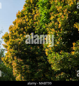 A beautiful photo of a tree green and yellow leaves, taken on a sunny spring day - Stock Photo