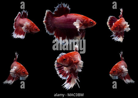 moving moment of big ear red siamese fighting fish,Betta splendens isolated on black background. - Stock Photo
