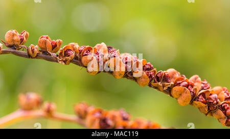 A macro shot of some crocosmia seed pods and seeds. - Stock Photo