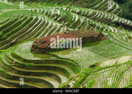 Terraces with newly planted rice seedlings in the mountain, Longsheng, Guangxi Province, China - Stock Photo