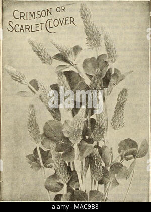 . Dreer's mid-summer list 1925 . VETCH Winter Vetcnes, or Tares. Also called Sand Vetch, or Hairy Vetch. Recommended for fall sowing with rye, which serves as a support. It is perfectly hardy in all parts of the country, and maturing fully four weeks earlier than Scarlet Clover, it can be harvested or plowed under and the ground used for the usual spring crops. It is the best green-manure crop that can be grown. Lb., 40 cts., postpaid. By express or freight, peck, $2.25; per bushel (60 lbs.), S8.00; 100 lbs., $13.00. CLOVER SEED Red Clover, Medium. Sow spring or fall, 10 to 15 lbs. per acre. L - Stock Photo