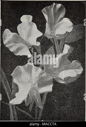 """. Dreer's wholesale price list spring edition April 1910 June : seeds plants and bulbs for florists fertilizers, insecticides, tools, sundries, etc . ORCHID FLOWERED SWEET PEAS (OFFERED ON PAGE 12). Viola (Tufted Pansies). Tr, Cornuta Papllio (Butterfly Violet). Blue . . """" Lutea splendens. Clear yellow """" Blue Perfection. Deep blue . ... """" White Perfection. Fine white """" Hybrida Admirabills """" nixed. All colors ... Odorata. Mixed. (Sweet Violet.) Viscaria. Cardinalis. Bright red Oculata Mixed. All colors Wallflower. Single Goliath. Deep velvety brown . """" Extra Early  - Stock Photo"""