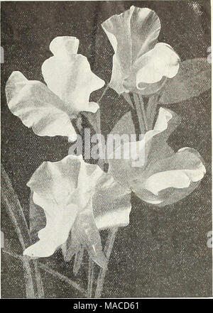 . Dreer's wholesale price list : seeds for florists plants for florists bulbs for florists vegetable seeds, fungicides, fertilizers, implements, insecticides, sundries, etc . ORCHID FLOWERED SWEET PEAS (OFFERED ON PAGE 12') Viola (Tufted Pansies). Cornuta Paplllo (Butterfly Violet). Blue . . Lutea splendens. Clear yellow .... Blue Perfection. Deep blue White Perfection. Fine white .... Hybrida Admirabilis. 14 cts. per pkt. nixed. All colors ... Odorata. Mixed. (Sweet Violet.) Tr. pkt. Oz. Viscaria. Cardinalis. Bright red Oculata Mixed. All colors Wallflower. Single Qoliath. Deep velvety brown  - Stock Photo