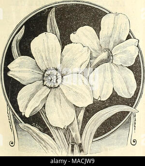 """. Dreer's wholesale price list for florists and market gardeners : summer edition July 1891 August . Narcissus Poeticus. Paper White """"Grandiflora.' Polyanthus Narcissus. READY IN AUGUST. PAPER """"WHITE. First quality (Selected). Pure white. Per 100, §1.25 ; per 1000, §9.00. PAPER WHITE Grandiflora. A larger and better flower than the ordinary Paper White. Blooms in large clusters, and comes earlier into flower. Per 100, §1.50 ; per 1000, §12.00. DOUBLE ROMAN. Pure white with yellow crown. Blooms early aud forces readily. Per 100, §1.25 ; per 1000, §9.00. GRAND SOLIEL D'OR. Brilliant go - Stock Photo"""