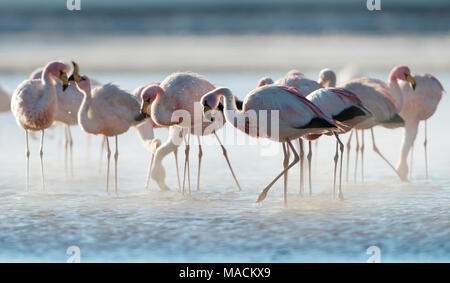 A scenic image of a group of James flamingoes in morning steam fog at a beautiful sunrise with a soft contralight at Laguna Colorada, Bolivia - Stock Photo