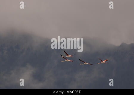 Greater Flamingos (Phoenicopterus roseus) in Flight on the Dodecanese island of Kos Greece with mountains in the background. - Stock Photo