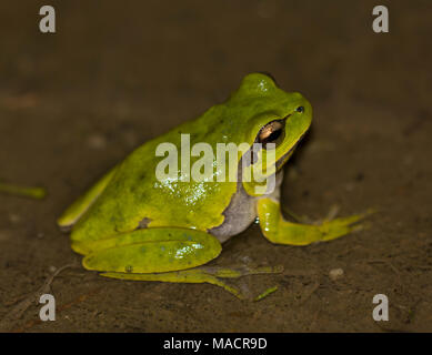 Eastern Tree Frog (Hyla orientalis) Dodecanese island of Kos Greece