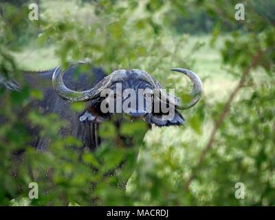 adult African Buffalo aka Cape Buffalo (Syncerus caffer) in Masai Mara Conservancies,Kenya,Africa - Stock Photo